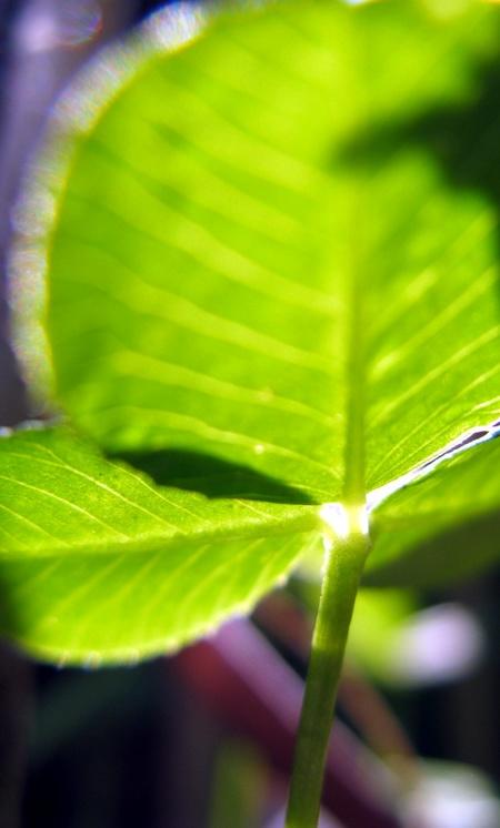 Projekt 52, 28. Woche: farbenfroh, fotografiert: Kleeblatt entgegen der Sonne