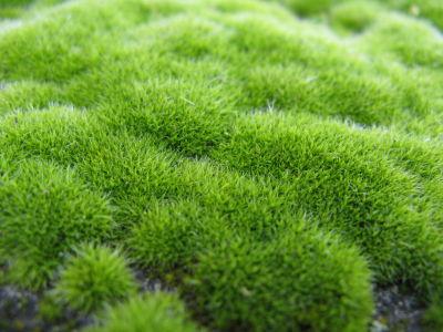 schön grünes Moos
